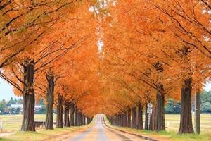 滋賀県 紅葉スポット メタセコイア並木