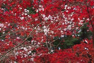 滋賀県 紅葉スポット 西明寺